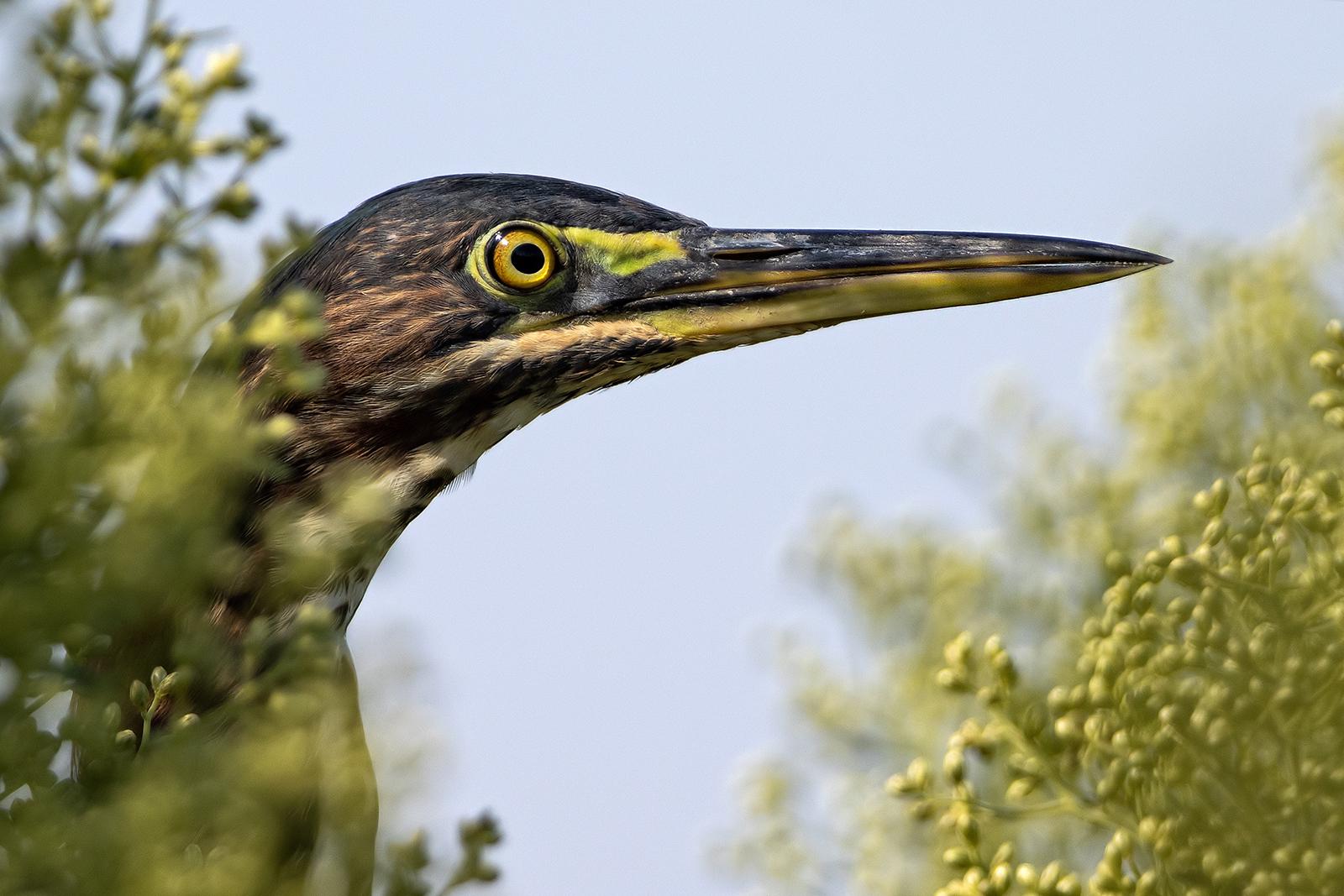 IMAGE: http://markfingar.com/photogallery/Birds/2019/IMG_2204_lr.jpg