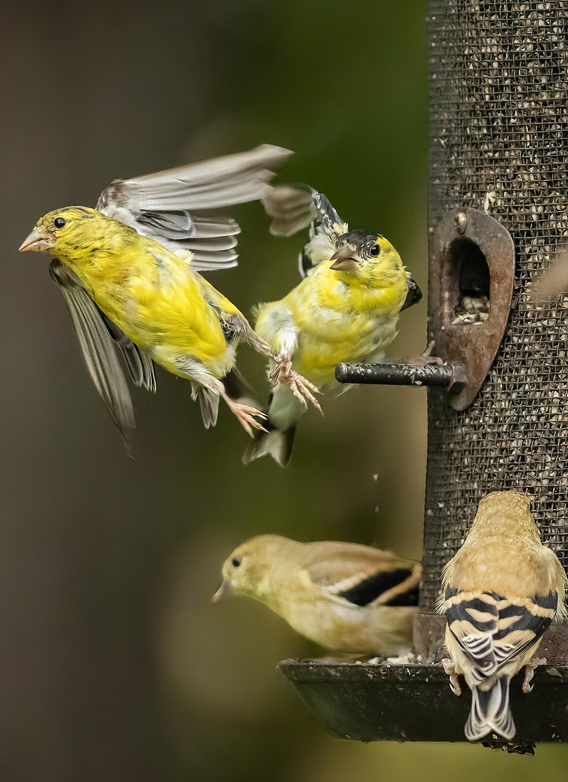 IMAGE: http://markfingar.com/photogallery/Birds/2020/AD4I9610_lr.jpg